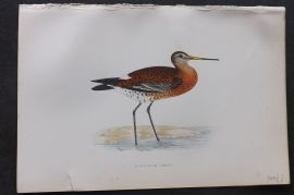 Morris 1870 Antique Bird Print. Black Tailed Godwit